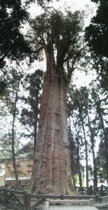 Alishan - divine tree 2