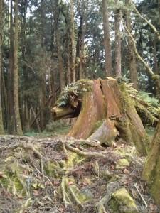Alishan - pig stump