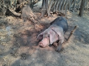 Bagan - pig on the road