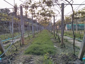 Battambang - wine tasting vineyard