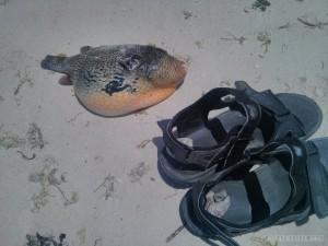 Bohol - hidden beach pufferfish