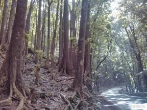 Bohol tour - manmade forest