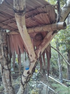 Bohol tour - tarsiers 1