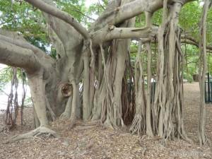 Brisbane - rooty tree