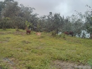 Hue - biking cows in rain