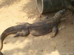 Jakarta - Komodo dragon 2