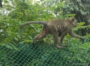 Kuala Lumpur - monkey and baby monkey