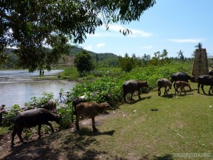 Lombok - cattle watering hole