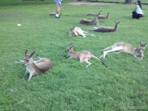 Lone Pine sanctuary - kangaroos