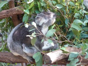 Lone Pine sanctuary - koala grazing