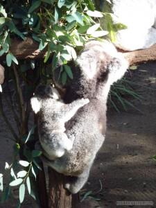 Lone Pine sanctuary - koala mother and child