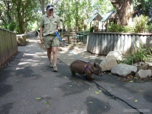Lone Pine sanctuary - wombat walking