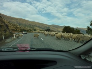 NZ Campervanning - sheep on the road 2