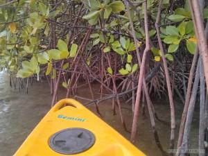 Port Barton - mangrove 1