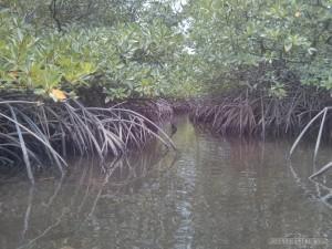 Port Barton - mangrove 2