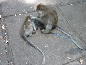 Ubud - monkey grooming