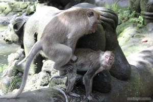 Ubud - monkey mating