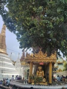 Yangon - Shwedagon pagoda bodhi tree 2