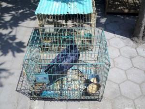 Yogyakarta - bird market crow