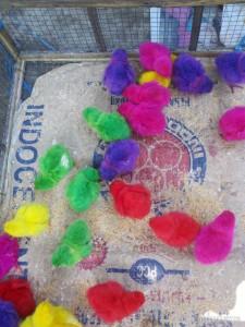 Yogyakarta - color chicks at bird market 1