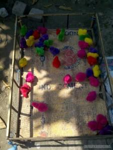 Yogyakarta - color chicks at bird market 2
