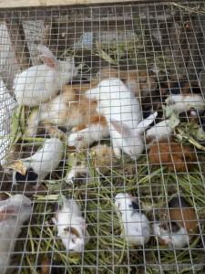 Yogyakarta - rabbits at bird market